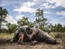 Stropers doden iets minder neushoorns in Zuid-Afrika