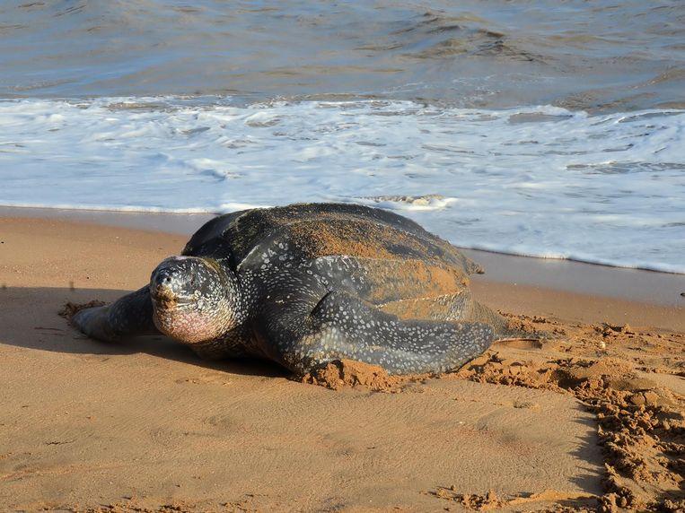 Dit is een voorbeeld van een lederschildpad ter illustratie. De foto is niet getrokken aan onze Noordzee.