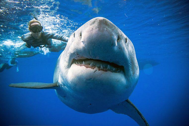 De kaken, tanden en vinnen van de witte haai zijn erg kostbaar. Daarom wordt er vaak illegaal op de indrukwekkende beesten gejaagd (archiefbeeld ter illustratie).