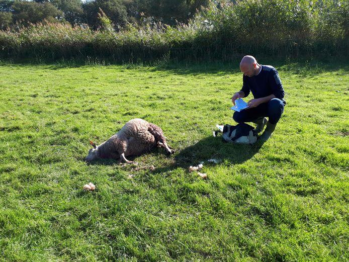 Onderzoek bij een doodgebeten schaap in het Overijsselse Den Ham.