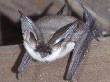 Vleermuis spotten: minstens tien 'grootoren' op het eiland