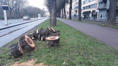 Zes bomen Frère-Orbanlaan gerooid
