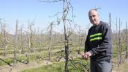 """Fruitteler Kris Janssens deelt opnieuw in de klappen: """"Na zomerse hagelbuien zorgt nu de vrieskou voor zware verliezen in de appeloogst"""""""