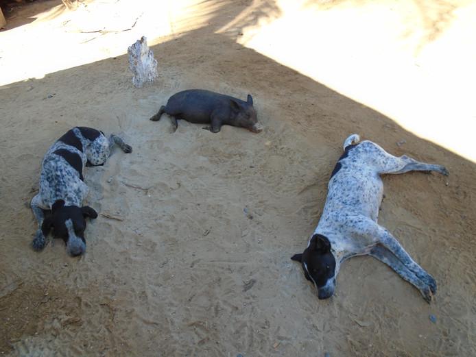 Op Cuba houden niet alleen mensen een siësta, maar ook dieren. Deze twee honden hebben een kringetje gevormd met een varkentje.