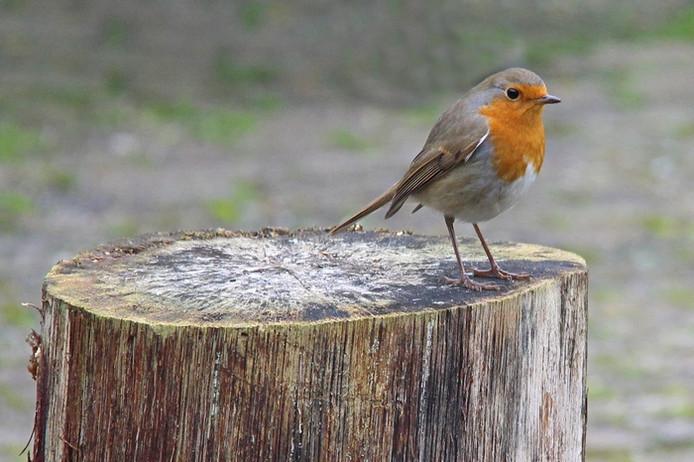 Roodborstjes zijn niet alleen in het vroege voorjaar te horen, ze zingen ook in het najaar.