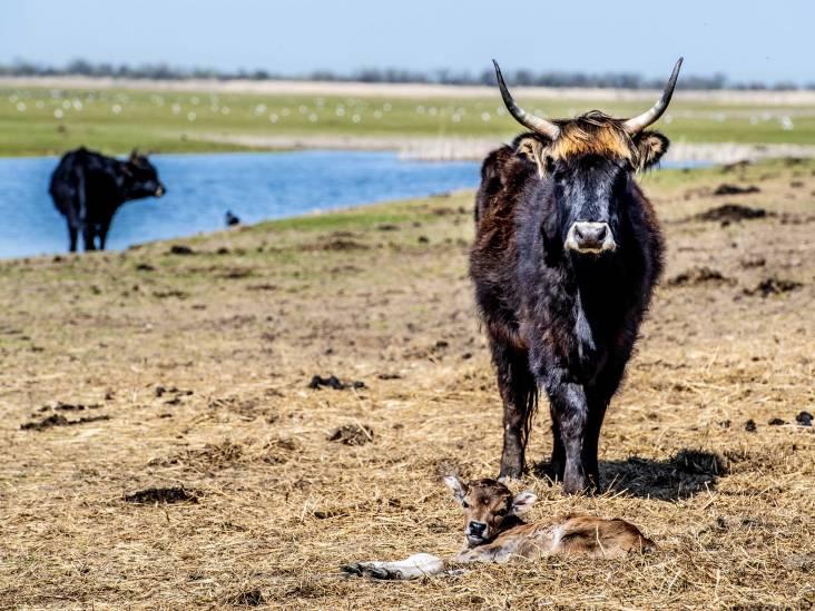 'Haal heckrunderen nog deze zomer uit Oostvaardersplassen'