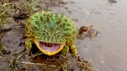 Man komt kikker tegen tijdens wandeling en schrikt wanneer dier keel openzet