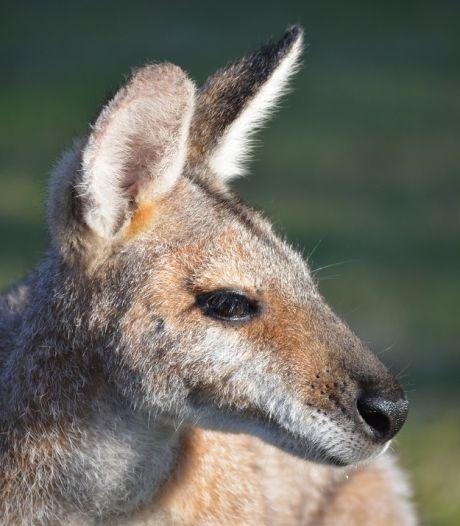Mysterie rond wallaby Epe blijft: 'Hoop dat iemand hem mist'