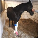 Het mishandelde paard in Oss.