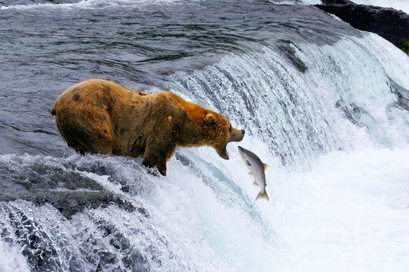 Ook bruine beren zijn afhankelijk van de zalmvangst in Alaska.