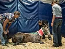 Paardenmishandelaar verwondt zeker 60 dieren