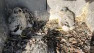 Ooievaar komt langs bij koppel slechtvalken: drie jongen geboren