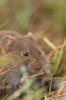 Muizenplaag zit boeren dwars: knagers vreten weilanden kapot
