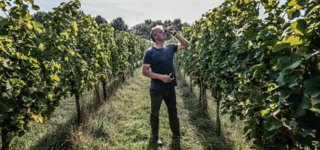Druiven plukken vooor de champagne: 't Oerlegoed is een stukje Frankrijk in Gendringen