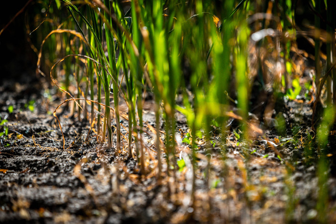 Een akker met dor en uitgedroogd mais. Door de aanhoudende droogte dreigt voor veel boeren een financiële strop doordat oogsten verloren gaan.