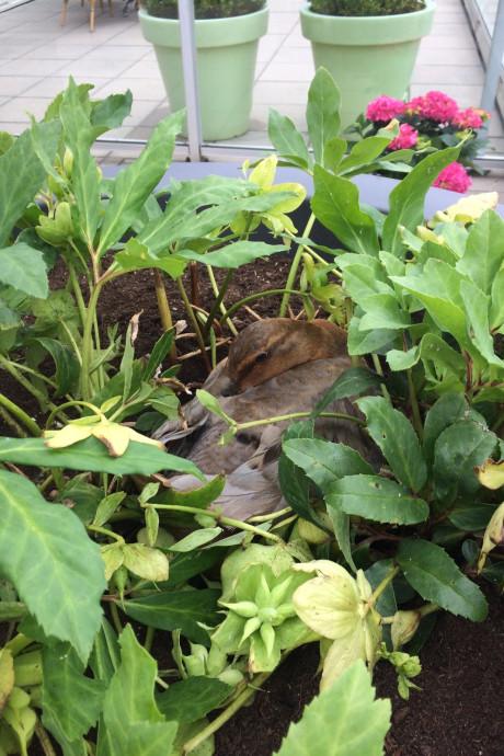 In de bloempot van José broedt mama-eend zes eitjes uit