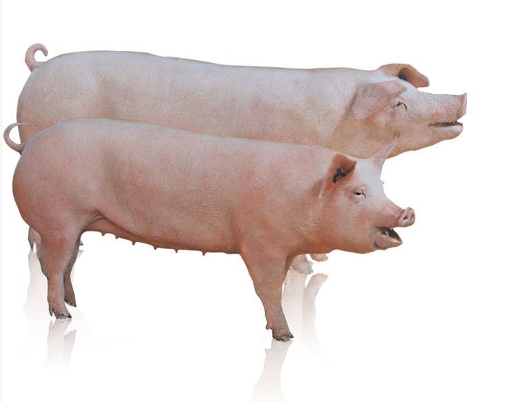 Hypor Libra, een van de varkenssoorten uit de catalogus van Hendrix Genetics. Beeld hendrix genetics