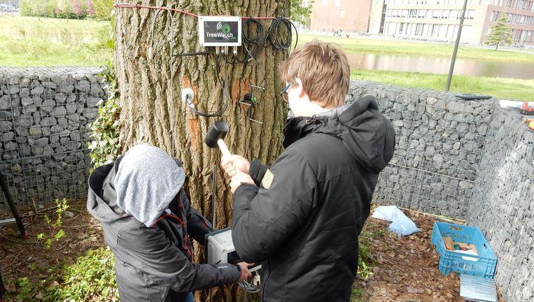 De populier op het terrein van de Universiteit van Wageningen wordt klaargemaakt voor Twitter. Beeld Wageningen UR