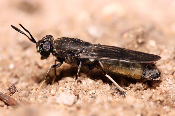 De zwarte soldatenvlieg.
