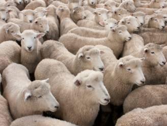 Trein rijdt in op kudde schapen in Duitsland
