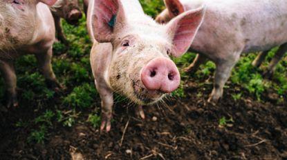 Zes landen schorten invoer van Belgisch varkensvlees op wegens Afrikaanse varkenspest in provincie Luxemburg
