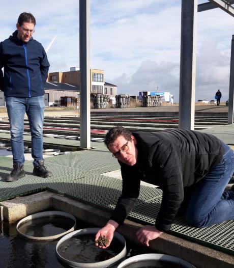 Zeeuwse oesterkwekers kijken het kunstje af bij Franse collega's