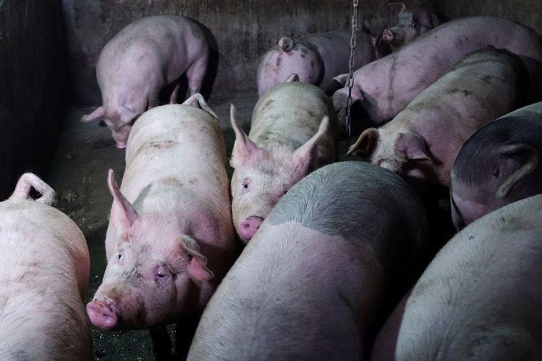 Een varkensboerderij in China.