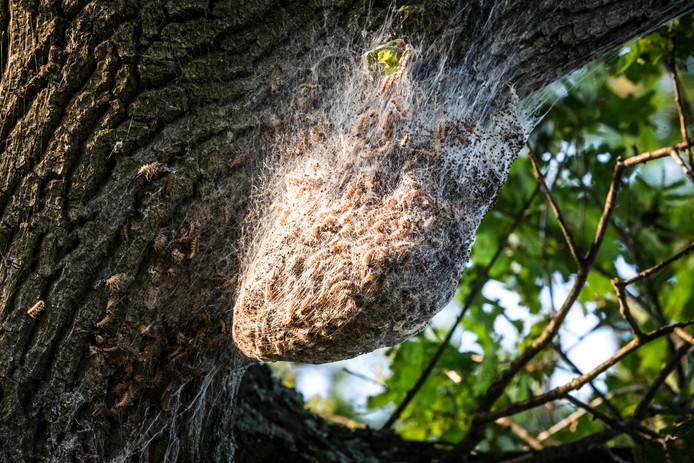 Een nest met processierupsen op een eikenboom.