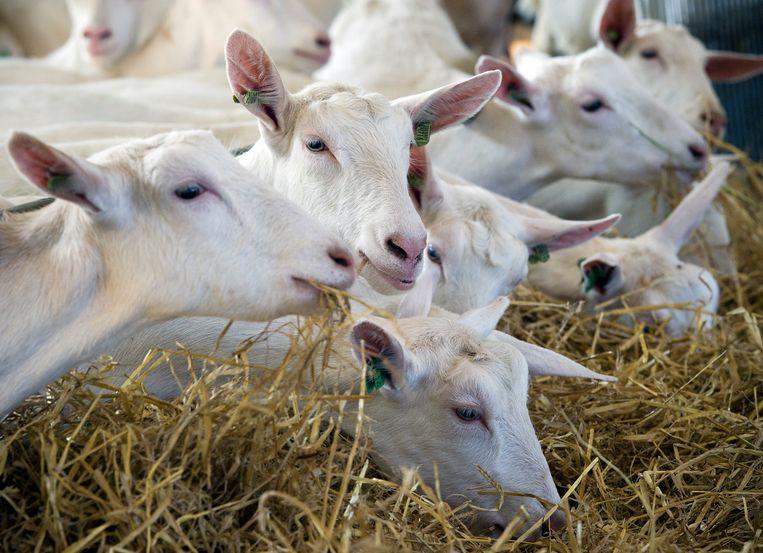 Grazende geiten. Beeld ANP/LEX VAN LIESHOUT
