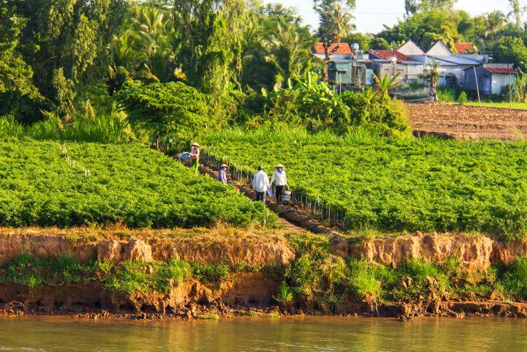 Vietnam: ook deze akker met peperplanten zal weldra verdwijnen in de Mekong Beeld Sander Groen