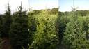 Van links naar rechts: 1: Picea abies, ofwel de Fijnspar. 2: Abies Fraseri, ofwel Fraserspar. 3: Picea Omorika, ofwel Servische spar.