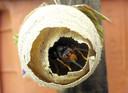 Ter illustratie een nest van de Aziatische hoornaar.