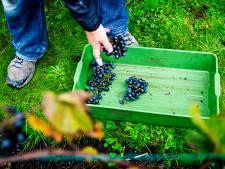 Nog één druivenpluk en dan is de Haagse wijnoogst weer binnen