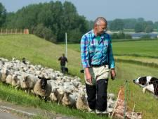 Schapen moeten van de dijk af in Rivierenland