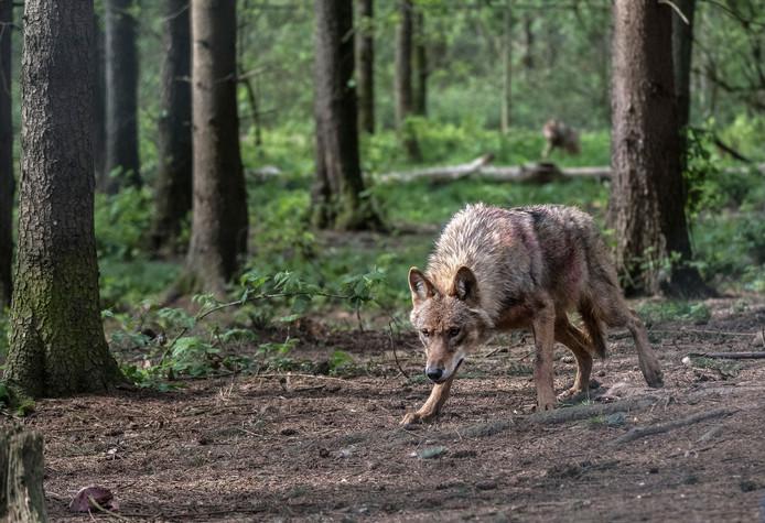 Eén van de wolven in het Anholter Schweiz.