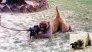 Experts ontkrachten mythe rond strijdende taliban-apen