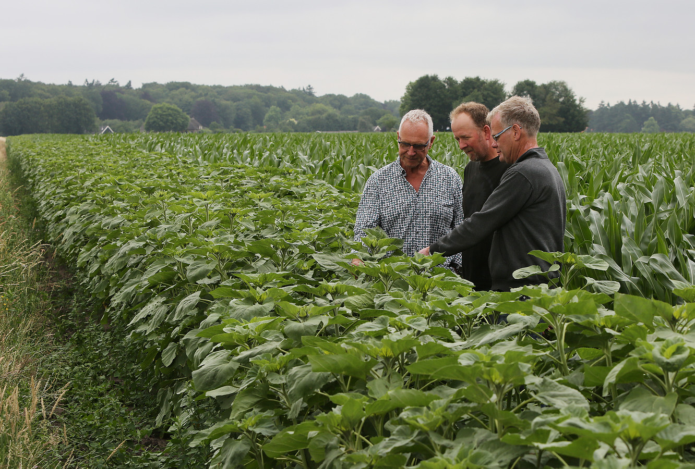 Imker Ben Som de Cerff, boer Gerrit Steging en loonwerker Gerrit Boschloo nemen een kijkje bij het meter dikke lint aan zonnebloemen dat ontstaat naast de maïsvelden van Steging.