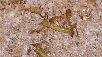 Onderzoek: meelwormen breken gif uit plastics af
