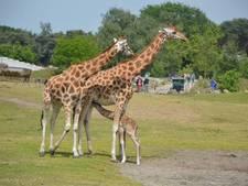 Safarirun Warandeloop is uitverkocht