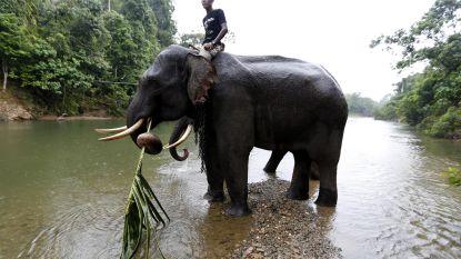 Aziatische olifant heeft wiskundeknobbel bijna zo groot als de mens