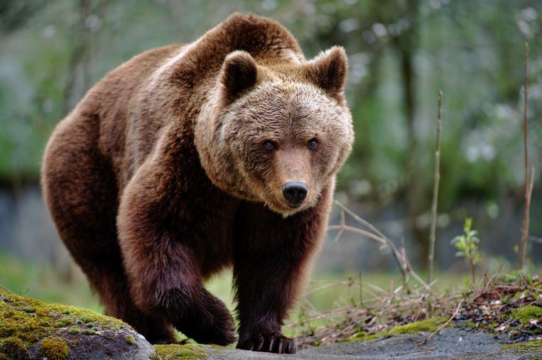 Een illustratiebeeld van een bruine beer.