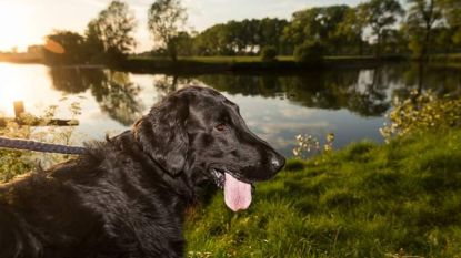 Ziba (9), de acterende hond van Vosselare Put, is overleden