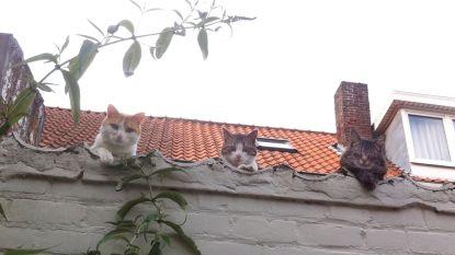 """Opmerkelijk voorstel in Nederland: ophokplicht voor... katten want """"een huisdier moet een huisdier zijn"""""""
