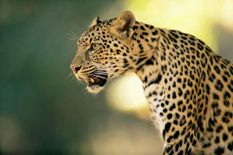 Archieffoto. De wilde kat heeft sinds half november al een vrouw en twee kleine meisjes gedood en vijf mensen verwond.