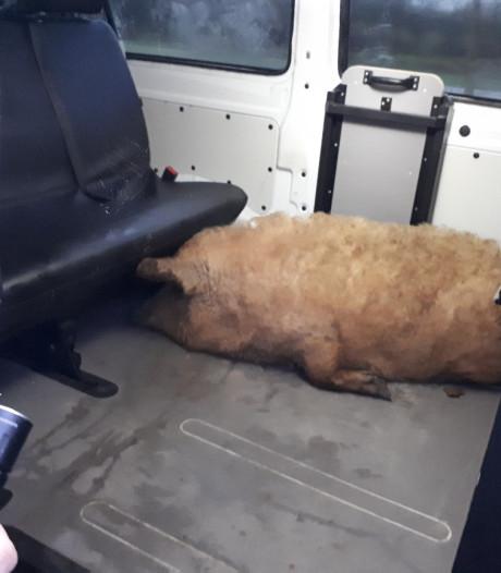 Varken op A58 in Roosendaal: voorbijgangers houden dier in bedwang op vluchtstrook