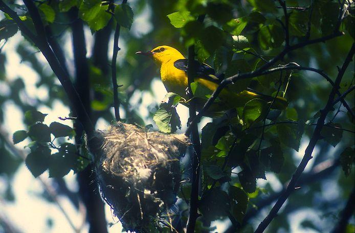 Wielewaal bij nest hoog in de boom. Foto Jos Korenromp