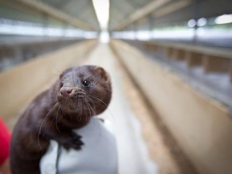En dat is nummer 31: coronabesmetting nertsenbedrijf Altforst met 12.000 moederdieren