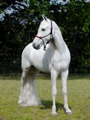 Julius, het witte paard in de performance van Grace Schwindt. Foto Jack Tummers.