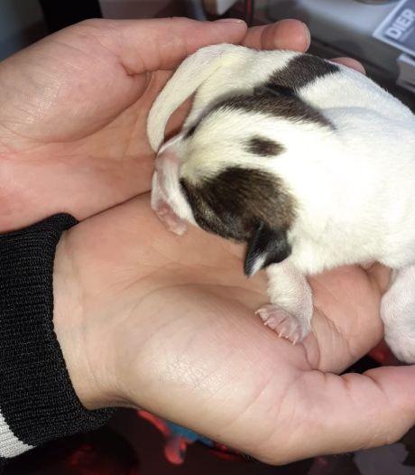 Dierenbescherming schrikt van gedumpte puppy's in rugzak in Deventer: 'Zien we niet vaak, gelukkig niet'