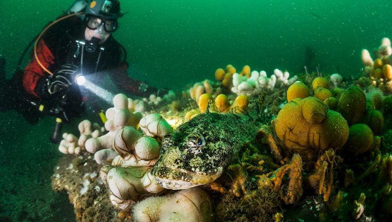 Zeedonderpad tussen dodemansduim Beeld Udo van Dongen